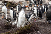 Falkland Islands - Gentoo Penguin — Stock Photo
