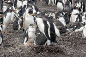 Gentoo Penguin with two chicks — Stock fotografie