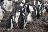 Gentoo Penguins chicks after rain — Foto Stock