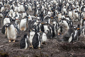 Gentoo Penguin Colony — 图库照片