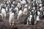 Gentoo penguin — Stockfoto