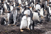 Gentoo Penguin with two chicks — Stockfoto