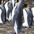 Falkland Islands - King Penguin - Proud — Stock Photo