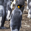 Постер, плакат: Falkland Islands King Penguin