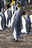 Falkland Islands - King Penguin - Proud — Foto Stock