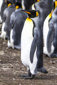 King Penguin - Falkland Islands — 图库照片