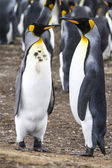 Pair of King Penguins — 图库照片