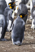 Falkland Islands - King Penguin — Stock Photo