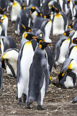 Pair of King Penguins - Falkland Islands — Stock Photo