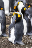 King Penguin - Nasty smell ? — Stock Photo