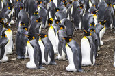 Colony of King Penguins — Foto Stock
