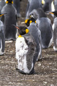 King Penguin Moulting - Falkland Islands — Stock Photo