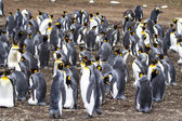 Colony of King Penguins — 图库照片