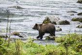 阿拉斯加-婴儿棕色的熊,捉一条鱼 — 图库照片