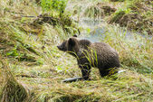 Baby Brown Bear - Enjoing Lunch — Stock Photo