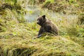 Baby Brown Bear - After Lunch — Stock Photo
