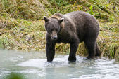 Alaska - Brown Bear Catching A Fish — Stockfoto