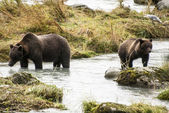 Brown Bear - Mother Teach Cub To Catch Fish — Stock Photo
