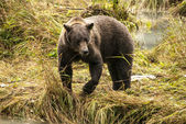 Brown Bear - It Is Time For Lunch! — Stock Photo