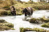 棕色的熊-妈妈教幼崽捉鱼 — 图库照片