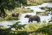 Brown Bear - Mother With Young Fishing — Stock Photo
