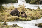 Brown Bear - Mother With Their Young Enjoying Lunch — Stock Photo