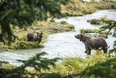 棕色的熊-母亲带着年轻的捕鱼 — 图库照片