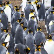Colony Of King Penguins In Bluff Cove — Stock Photo