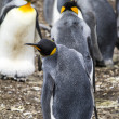 Постер, плакат: King Penguin Love Is In The Air