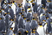 Colony Of King Penguins In Bluff Cove — Photo