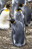 King Penguin - Love Is In The Air — Stock Photo