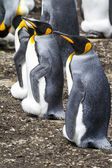 King Penguin - The Observers ! — Stock Photo