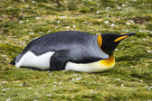 King Penguin  - After Lunch ...Siesta ! — Stock Photo