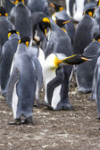 King Penguin - In Shape! — Stock Photo