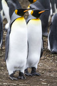 King Penguin - Couple Dreaming The Future — 图库照片