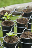 Coffee Seedlings — Foto de Stock