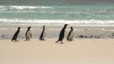 Penguins - Magellan and Gentoo — Stockvideo
