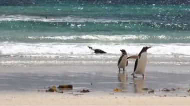 Penguins - Magellan and Gentoo — Stock Video
