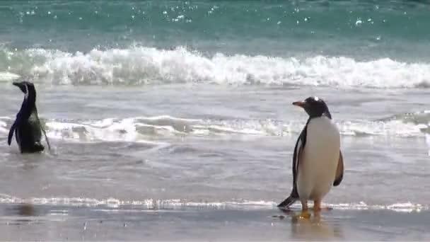 Pingüinos - Magallanes y gentoo — Vídeo de stock