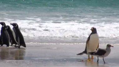 Penguins - Magellan and Gentoo — Stockvideo