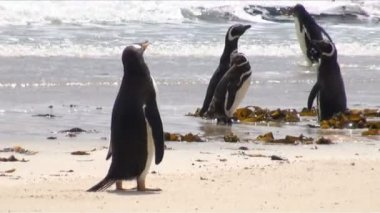 Penguins - Magellan and Gentoo — Vídeo Stock