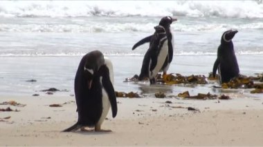 Penguins - Magellan and Gentoo — Video Stock