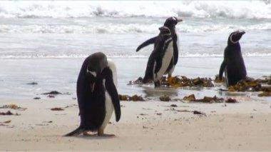 巴布亚企鹅 — 图库视频影像