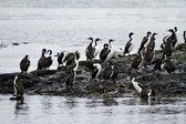 Birds - Cormorant Colony — Stock Photo