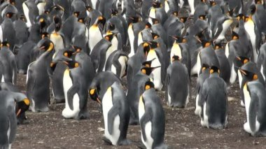Colony of king penguins in Bluff Cove, Falkland Islands — Stock Video