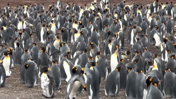 Colonia del rey de los pingüinos en bluff cove, Islas Malvinas — Vídeo de stock