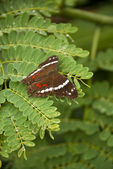 Banded Peacock Butterfly — Stock Photo