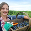 closeup of woman in vineyard during harvest season — Stock Photo