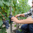 Stock Photo: Harvester cutting bunch of grapes in vineyard rows