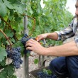 Harvester cutting bunch of grapes in vineyard rows — Stock Photo